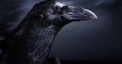Птица черный ворон значение в истории и татуировках