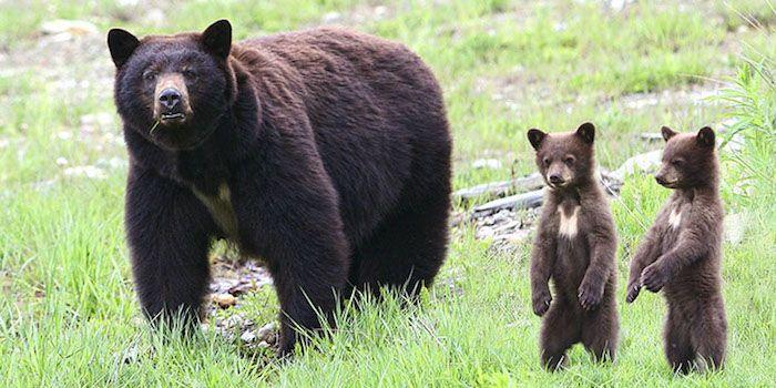 Значение тату медведь медведица