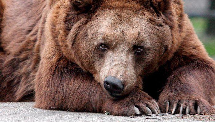 медведь спокойный фото