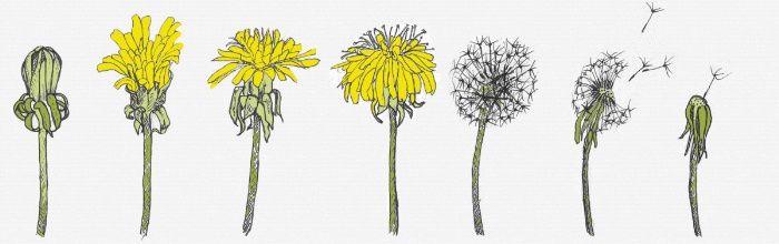 одуванчики цветы