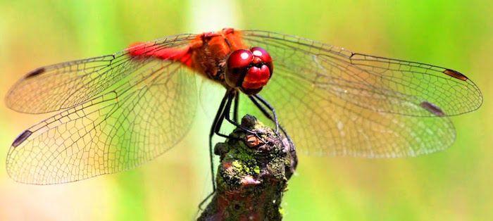 красная стрекоза символ