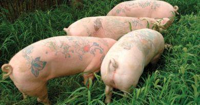 Арт ферма:свиньистатуировкамифото