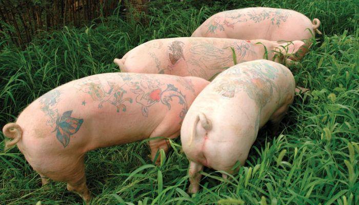 Арт-ферма: свиньи с татуировками