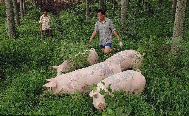 свинки с тату