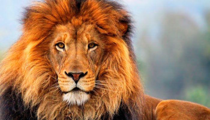 Татуировка льва - значение и фото